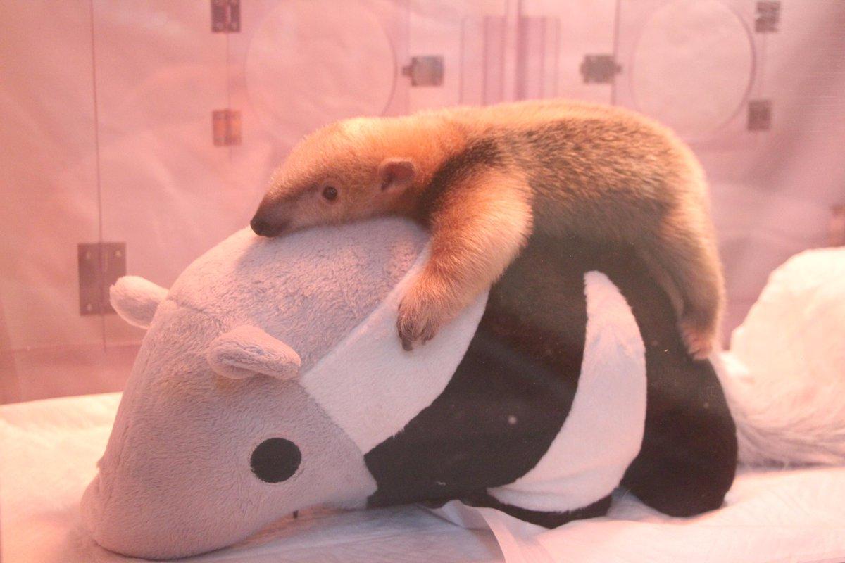 ミナミコアリクイの赤ちゃん、本日から展示開始。人工哺育のため、ぬいぐるみ(スタッフが湯たんぽに改造)といっしょに展示しています。やっぱり掴まってると安心するようです。 pic.twitter.com/sCocq8DsyF