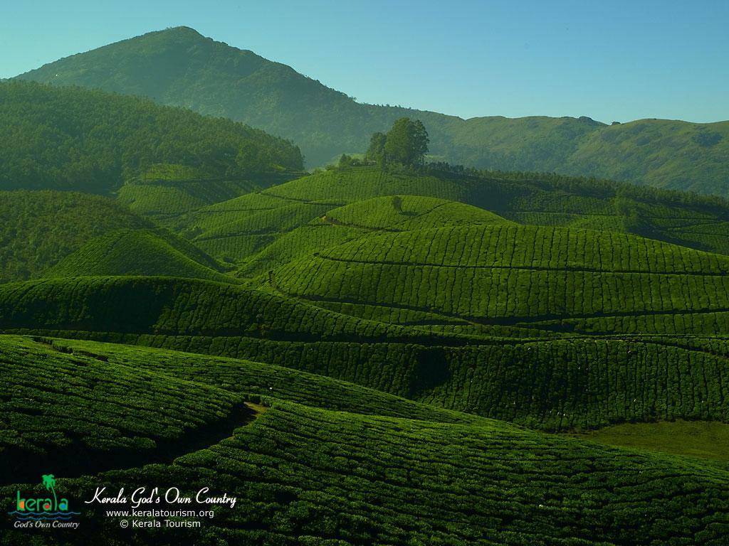 केरल के चाय बागान