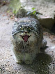 ネコ科最古のネコ マヌルネコが表情豊かでカワエエwww