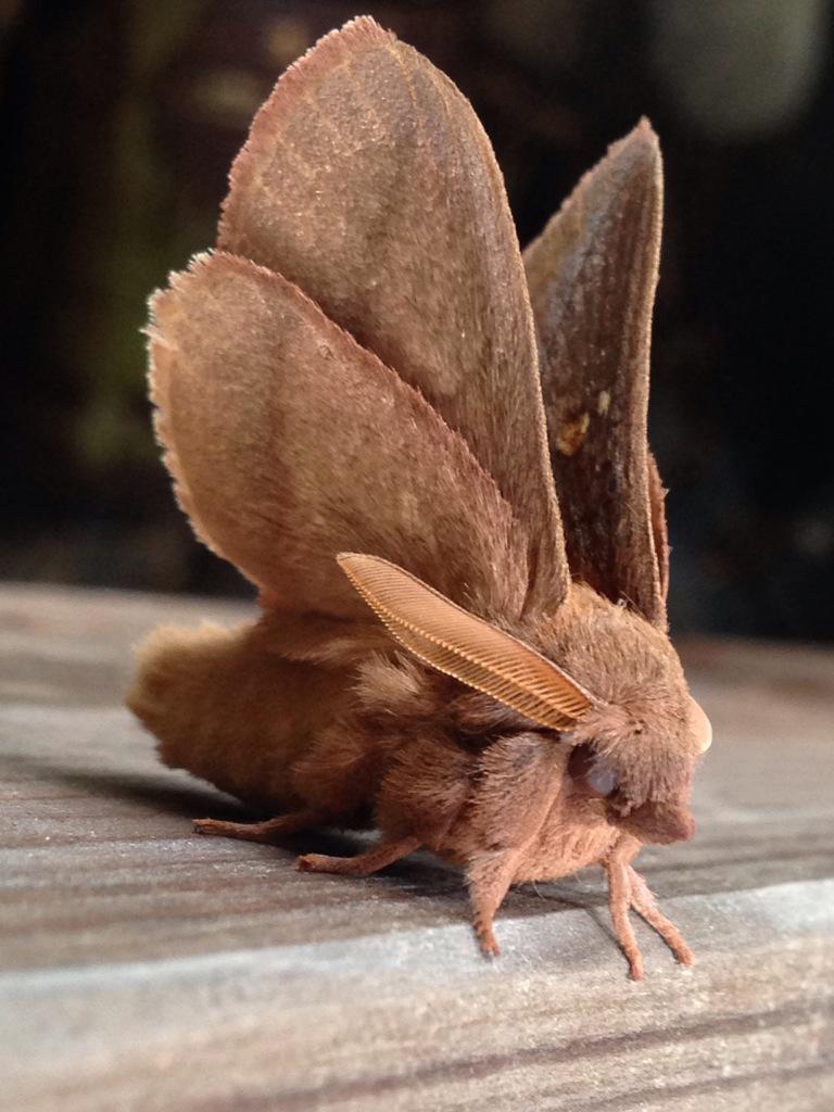 お庭で見たことないほどかわいい蛾が出ました。 pic.twitter.com/rEtxDwQ6yU