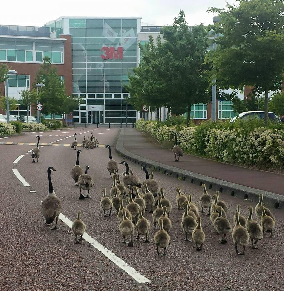 Our local Canada geese reporting for duty at 3M Bracknell this morning..... http://t.co/RNgFWi3cOI