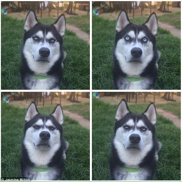飼い主がボールを投げた…と思ったら投げるふりをしただけだったとわかってゴルゴ13みたいな目つきになるシベリアンハスキー。dailym.ai/1I1pLmx pic.twitter.com/Dn1v1cVC3R