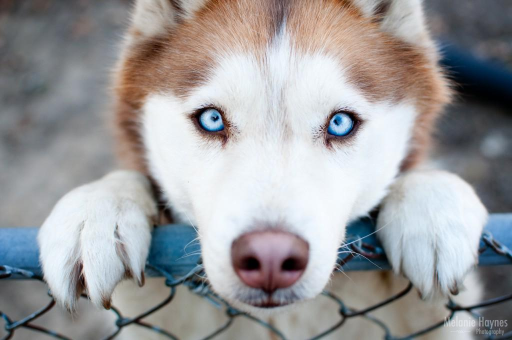 First Class Pets On Twitter Beautiful Blue Eyes Husky Dog