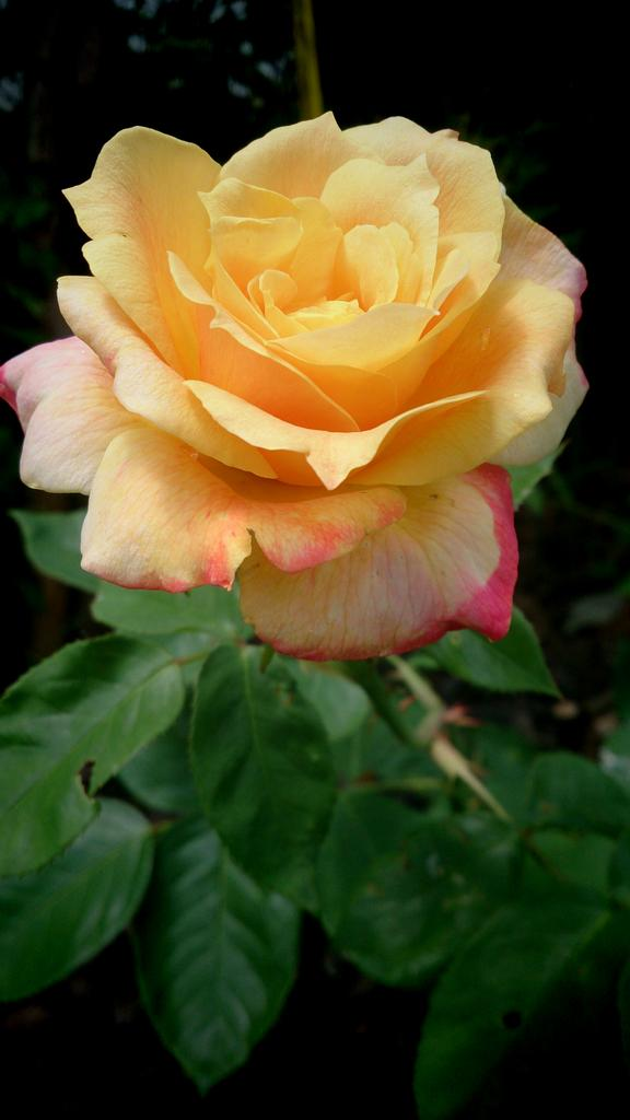 I declare World Peace #idwp grow peace roses http://t.co/45dKRdw8oX