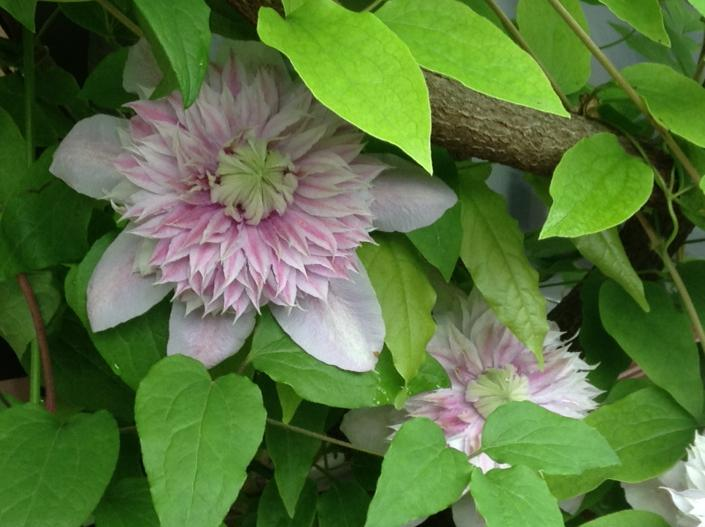 two pink clematis flowers partly obscured by leaves