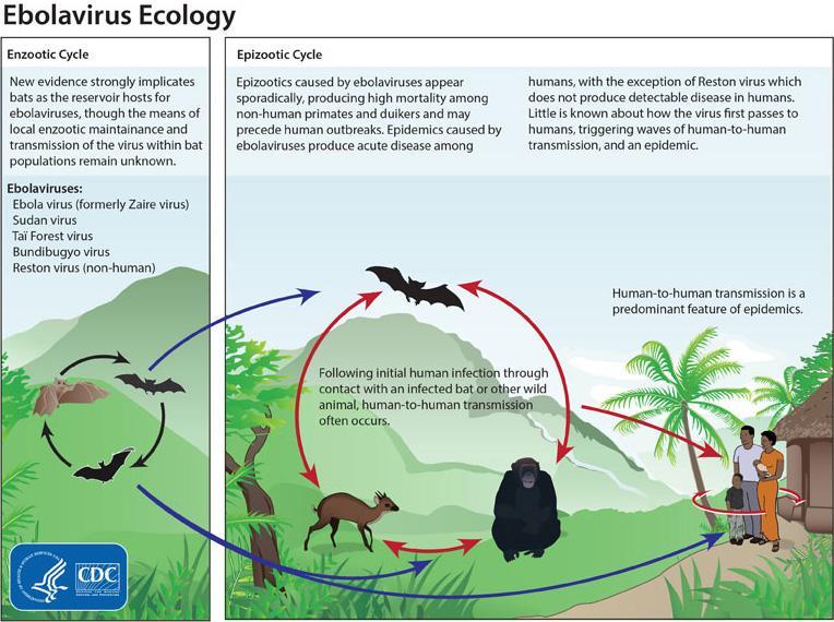Ciclo ecológico del #Ebola. Fuente: CDC #microMOOC http://t.co/8EVQu5MLqC