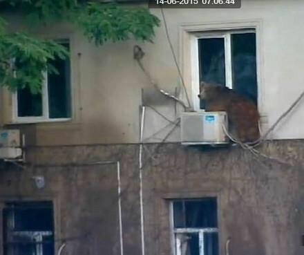 Foto Orso alla finestra a Tbilisi (Georgia) dopo l'alluvione