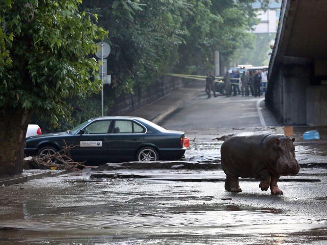 Foto ippopotamo Tbilisi (Georgia) dopo l'alluvione