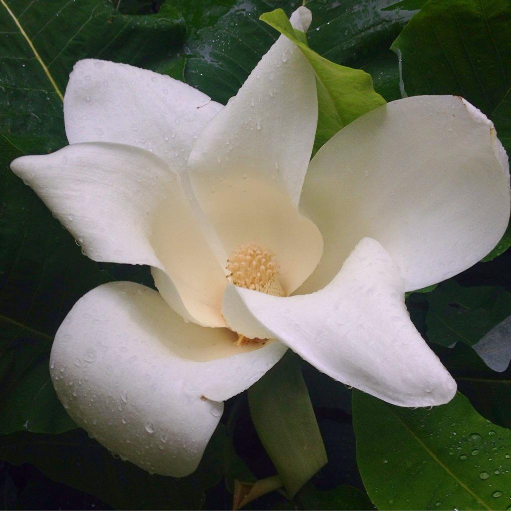 Magnolia 'Julian Hill' is beginning to bloom! Find it at the end of the dogwood allée. #mvpsa