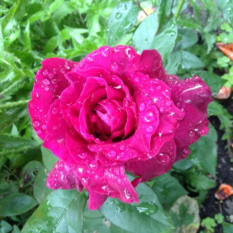 purple rose covered in raindrops
