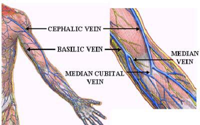 basilic vein – citybeauty, Human Body