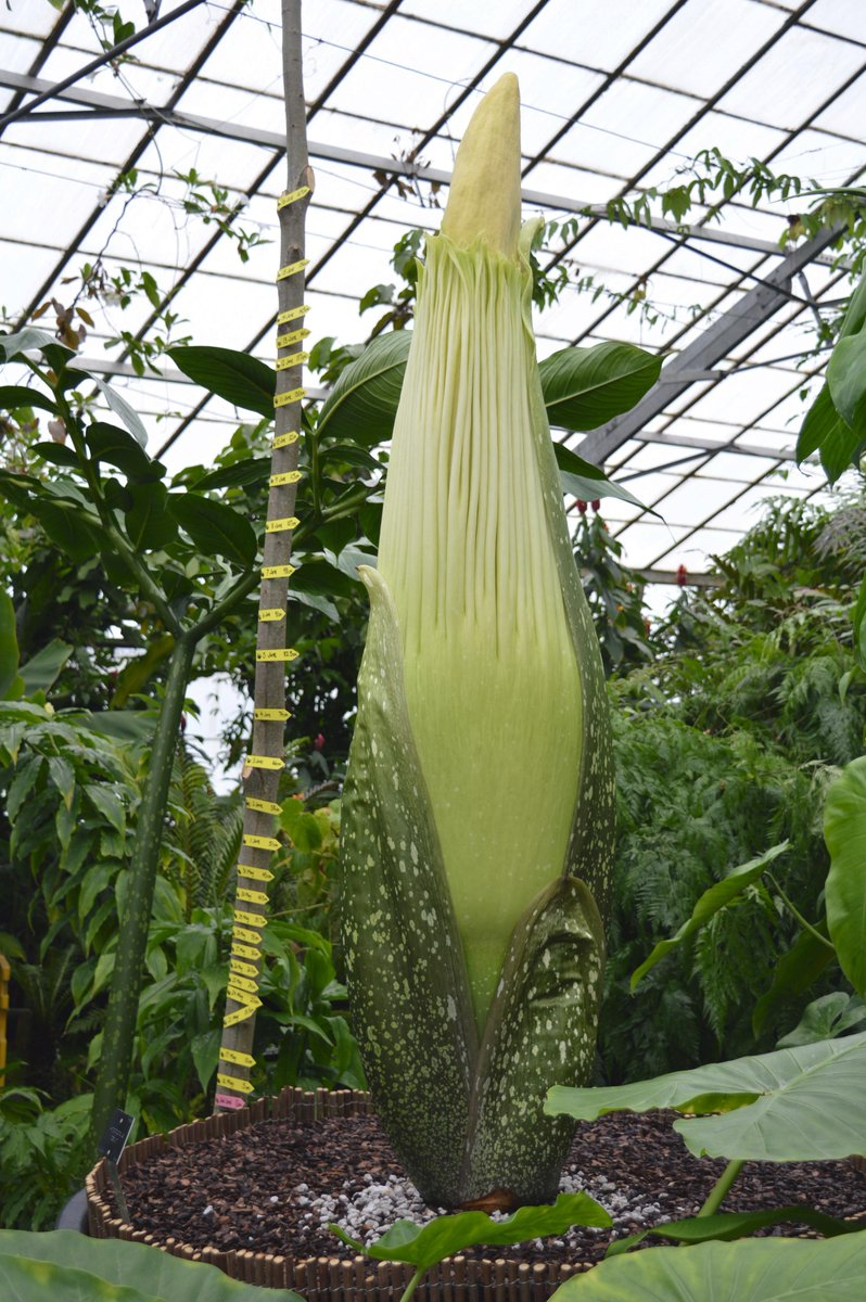Latest pic of the #titanarum now standing at an impressive 169cm! @TitanArumRBGE #newreekie http://t.co/3zmf4aNUPT