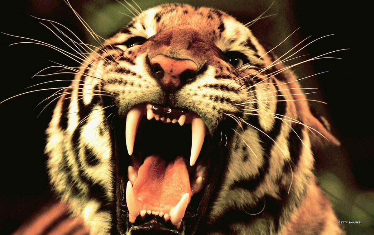 картинки тигр с открытым ртом