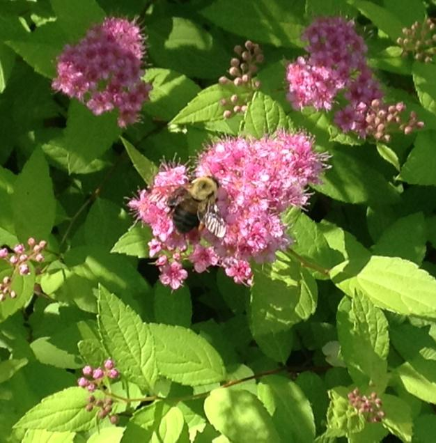 bee on a pink spirea blossom