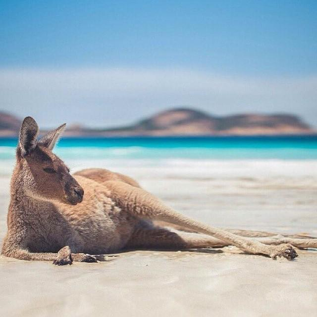 Earth Pics On Twitter Kangaroo Chilling On The Beach Australia Photo By Thibault Bunoust T Co Izqzomgyiw