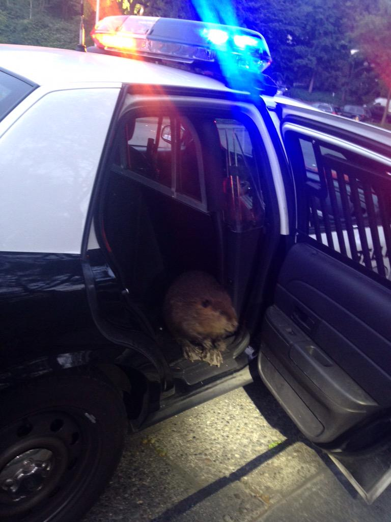 One of our officers gave this beaver a ride back to his lodge after he wandered into the parking lot of @ChickfilA http://t.co/NTxKXnhHRc