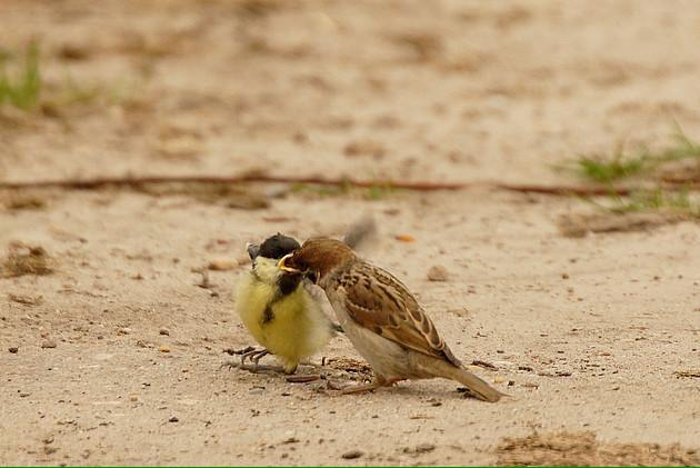 How about that?! Adult Tree Sparrow feeding a fledgling Great Tit (via @VroegeVogels) @_BTO http://t.co/dub39i8NgG
