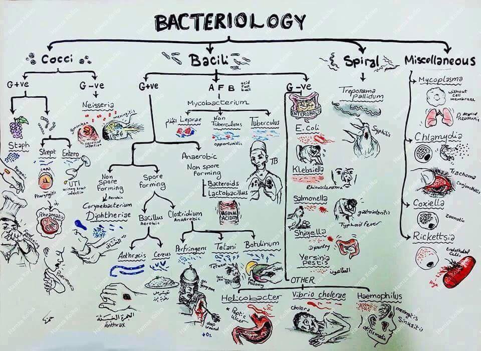 bacteria classification