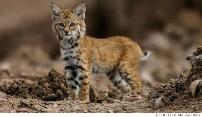 Ancient bobcat buried like a human being