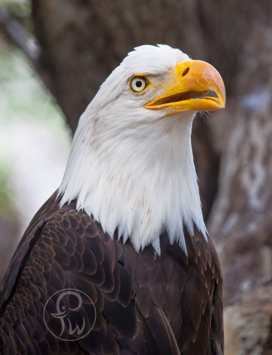 Fort Worth Zoo On Twitter The Bald Eagle Is The Only Eagle Unique