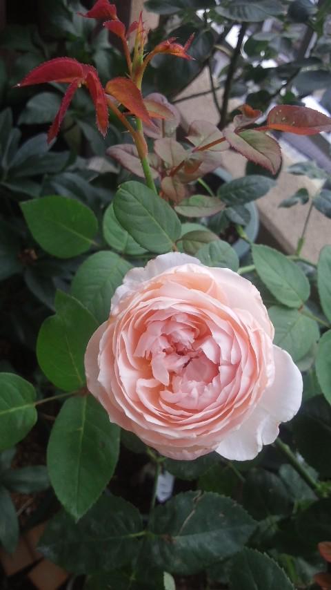 一つだけ残したセントセシリアが咲きました。二番花なので小ぶりだけど意外にボリュームあった。 いい香り!(≧∇≦) http://t.co/8q3Opy8gvq