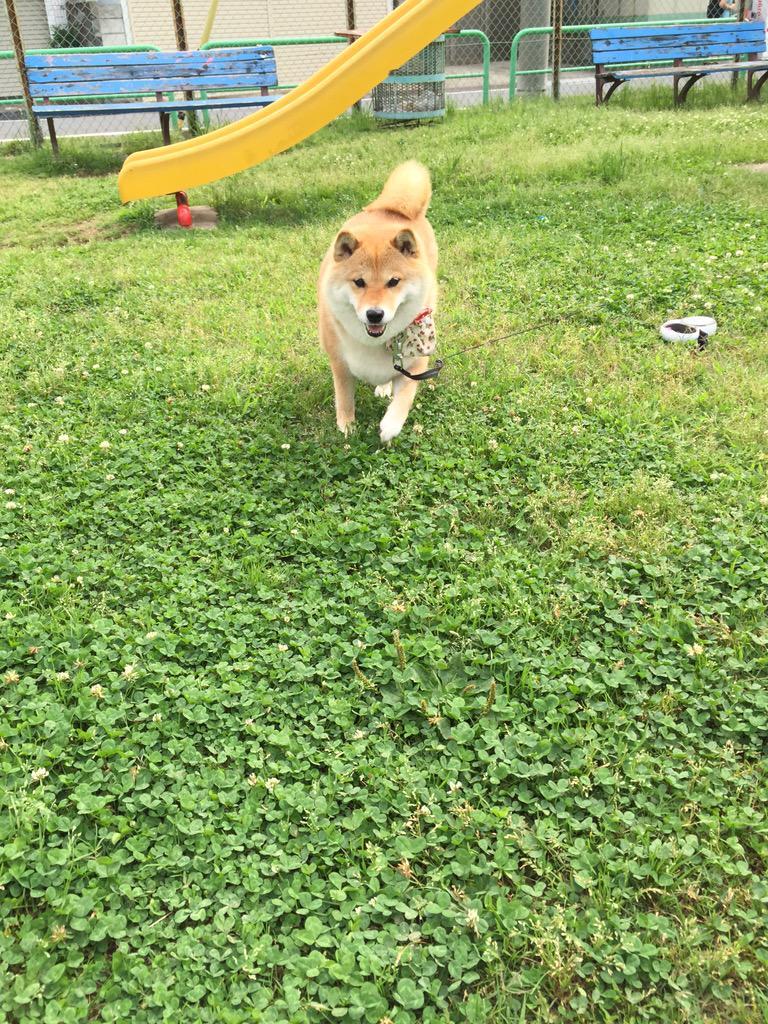 たまには犬らしい写真を🐾と思ったのに、疲れちゃったの?またイヤイヤしちゃって😤 pic.twitter.com/aJGgQt5KWo