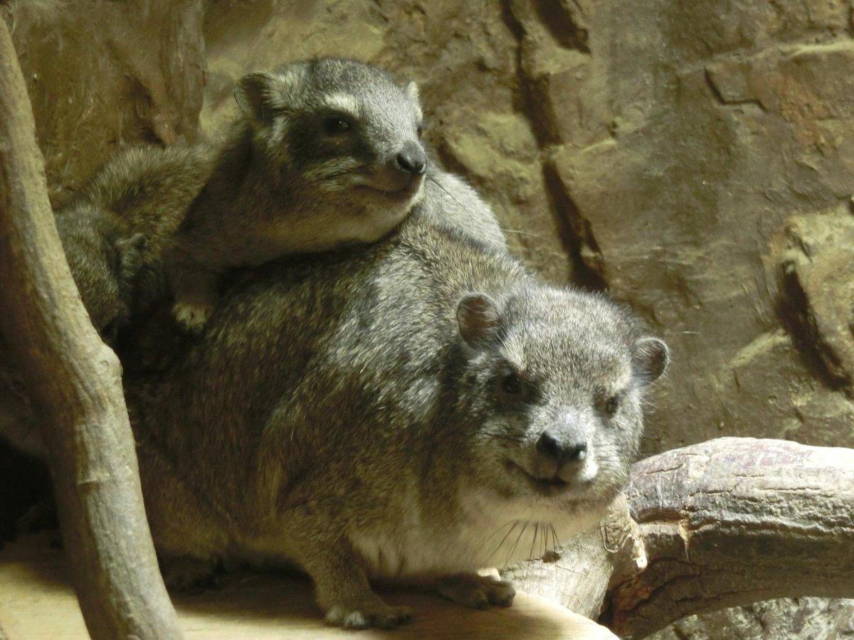 おはようございます\(・ω・)/ここのところ「イケメンゴリラ」が話題ですが、上野動物園小獣館のケープハイラックスのこの凛々しさも、なかなかのものだと思いませんか?   #uenozoonow pic.twitter.com/zO4pEo8a0G