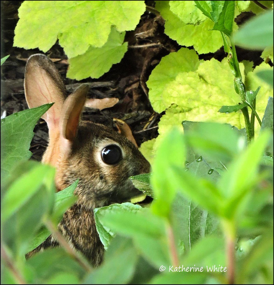 Look who I caught in my #garden to eat my rudbeckia #plants.  Cute little #bunny. http://t.co/VDFztNqkSm