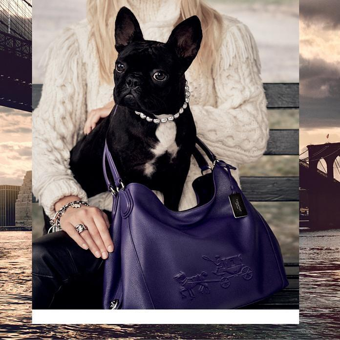 Lady Gaga's Dog @MissAsiaKinney is the Star & Face of @Coach for the #CoachPups Campaign