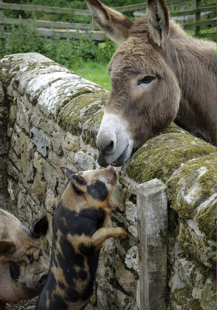 Paddy the donkey meeting the new pigs @CherryburnNT MT @Katie_Cakes: We may have captured an illicit love affair... http://t.co/KYdPdSZ783