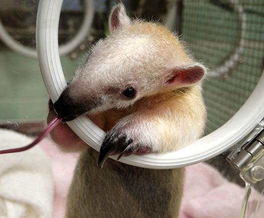 舌〜。哺乳類にシフト。去年の5月、上野動物園で生まれたミナミコアリクイ「あさひ」 pic.twitter.com/xiZmRnLEFj