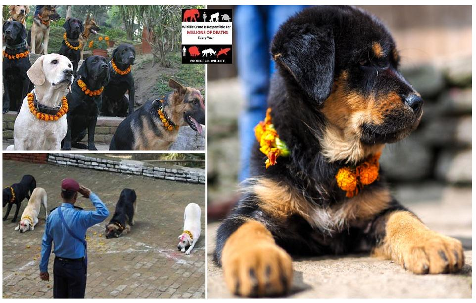 RT @Protect_Wldlife: What a difference compared to #Yulin! Dogs are revered at the Kukur Tihar, or the festival of dogs, in Nepal!! http://…