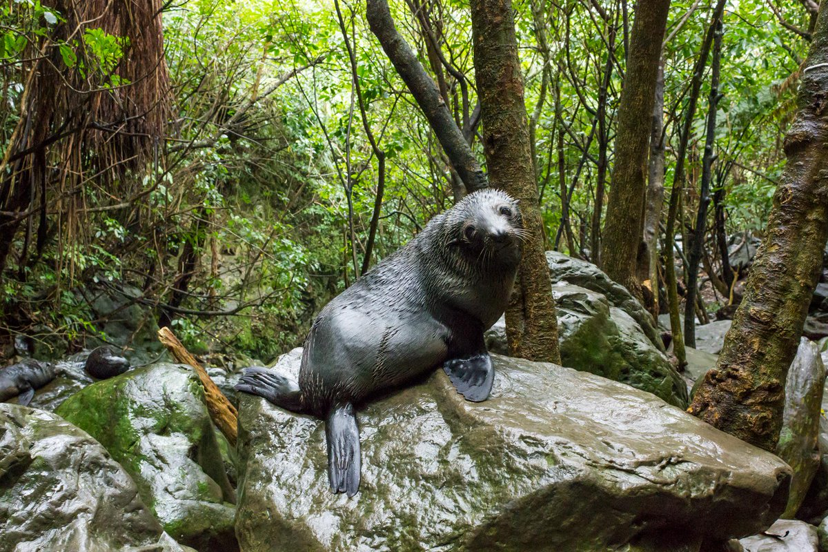 #KiaOrafromKaikoura Seal pups crossing! It's the perfect time to see baby seals cavorting at Ohau Stream @KeithKeller http://t.co/vmOrRPYJT9