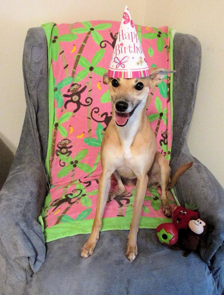 Radish Whippet On Twitter Mom Made Cheeky Wear A Birthday Hat Now
