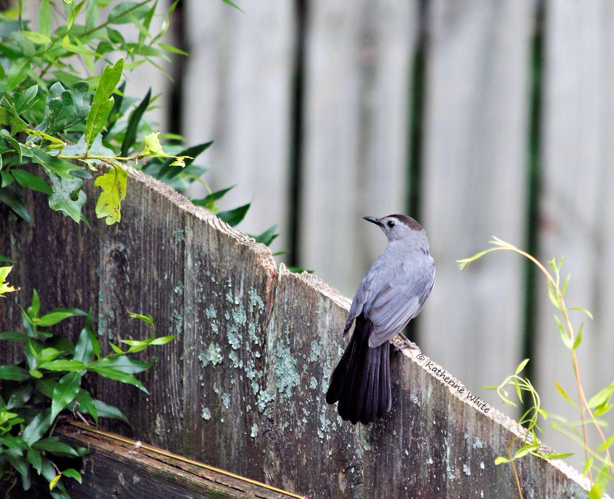 Gray #Catbird sitting on the #fence.  I wonder if it ever made up its mind? #nature http://t.co/eJdGg41qN6