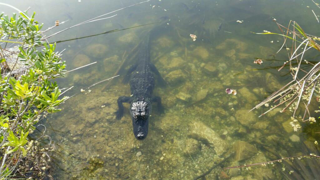 One of the toothy residents at the @USFWS Blue Hole, the only freshwater lake in the Florida Keys. #LoveFL #Alligator http://t.co/kBxR9iweum