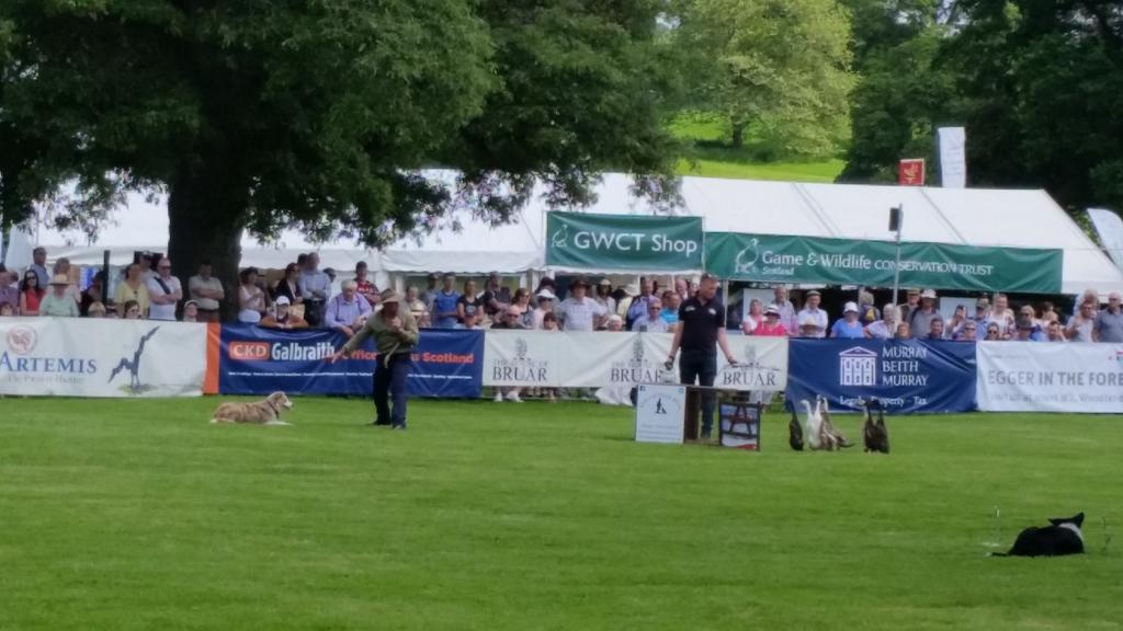 Herding ducks @ScotGameFair - maybe we could learn something about herding #scottishwildcats http://t.co/L2oIevuiIU