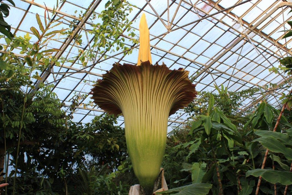 Open tomorrow from 9am (East Gate entrance) until 9pm to see @TitanArumRBGE, same on Sunday! http://t.co/WiMkj0iLmQ http://t.co/S5KzUlnRpi