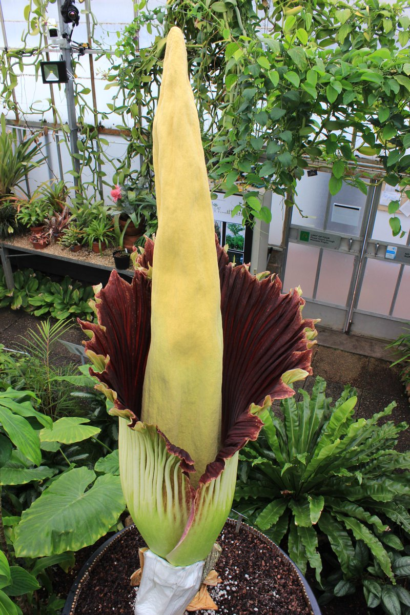 It's the moment we've all been waiting for! #NewReekie, our #TitanArum, has started its full bloom! http://t.co/oZSHPNN3Sc