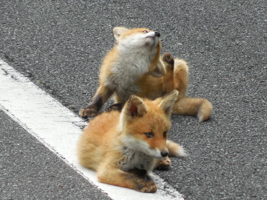 路上はキタキツネに占拠されていました。くつろぎ過ぎだろうwちなこれ書いてる今ベランダに子狐が来てた、凄い偶然。 pic.twitter.com/ffZIv7aYJg