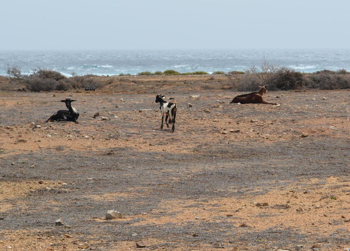 #trois chèvres dans le désert d'Aruba - à la pointe sud de l'île #mathphoto15 http://t.co/BNQkuypuDU