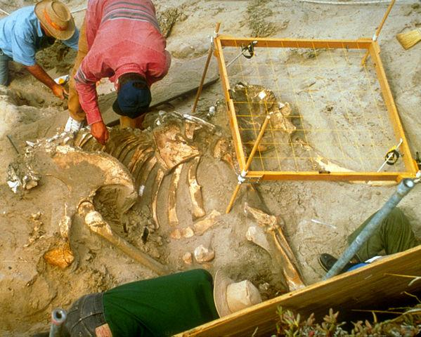 Today in Science History: The first near-complete pygmy mammoth skeleton was found in 1994 on Santa Rose Island, CA. http://t.co/yzWIG8YKip