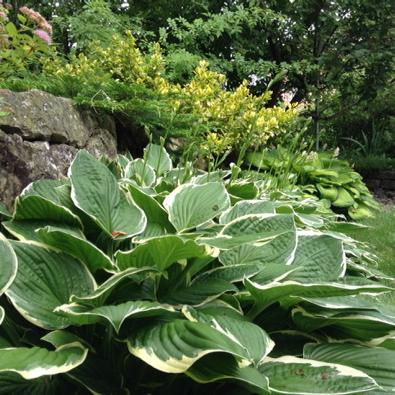 green and white hostas in foreground with other plants behind in varying shades of green