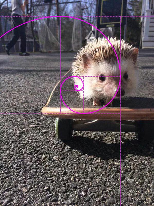 hedgehog golden spiral
