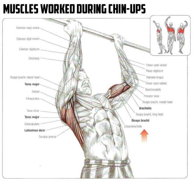Fitnesshacks101 On Twitter Anatomy Of The Chin Up Httpst