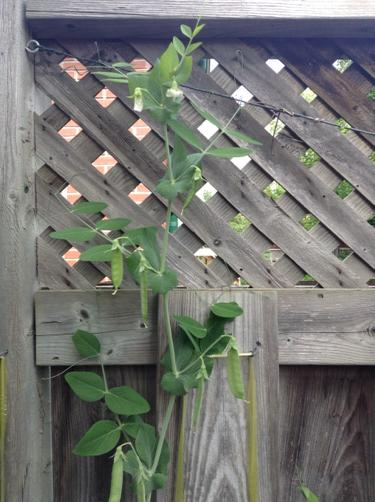 snow pea in bloom and with pods growing against a grey fence
