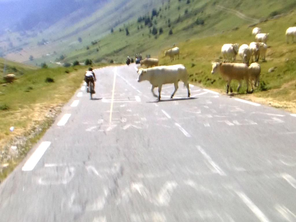 Cows almost take out a rider at the Tour de France! #TDF2015 http://t.co/m1OkzwJVQP