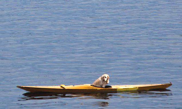 В Шотландии лабрадор отправился в плавание по морю на каяке