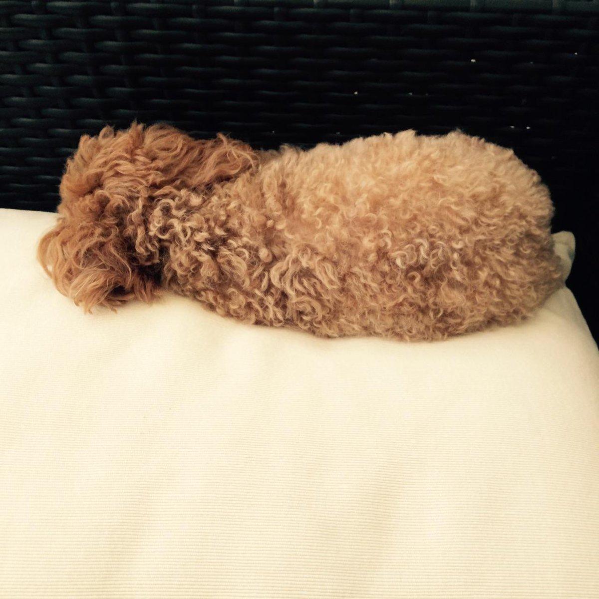 雨で散歩行けないから、ふて寝する犬→ pic.twitter.com/lud8rie7wl