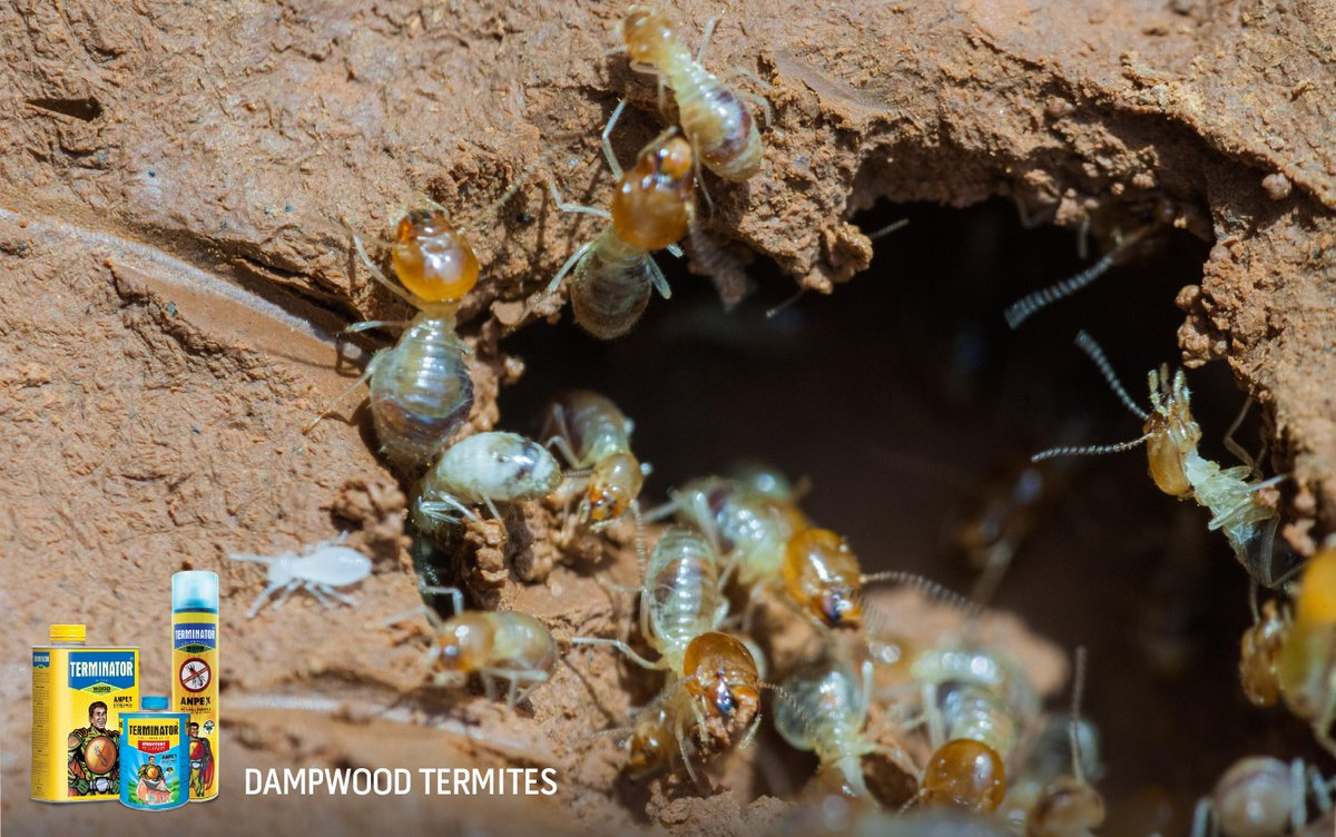#DYK There is no worker caste in the dampwood termite community. To know more read our post at:http://t.co/V7eUH0edGr http://t.co/wRkPMxrRHN